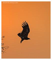 Tal Chapar 2014 (Sudhir Shukla Photography) Tags: yellow pigeon raptor imperial demoiselle eyed vulture buzzard steppe tal griffon jird francolin chapar cinerous sujangarh
