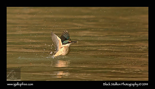 Sacred Kingfisher 03