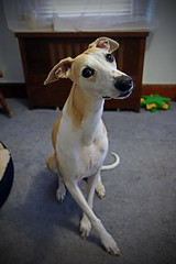 Calling All Canines ! (DiamondBonz) Tags: dog pet cute head hound adorable whippet tilt spanky dogchal