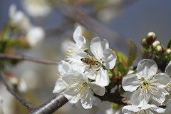 Blossom (Simos1968) Tags: flowers white blossom bee sourcherry abeeonaflower sourcherryblossom