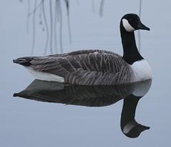 Canada Goose Branta canadensis Male 0011 (cwoodend..........Thanks) Tags: canadagoose brantacanadensis wwt brandonmarsh