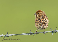 Female Reed Bunting (Jim Crozier) Tags: female reedbunting sigma150500mm canoneos1dx