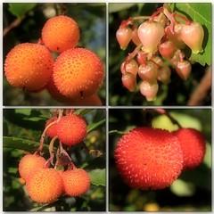 (Tlgyesi Kata) Tags: autumn berry mosaic budapest botanicalgarden strawberrytree arbutusunedo mozaik fvszkert botanikuskert caneapple withcanonpowershota620 nyugatiszamcafa