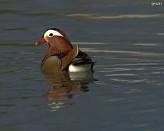 mandarina (peterthefool) Tags: mandarineduck anatramandarina water wildlife natura nikond7200 tamron150600mm riflesso reflections