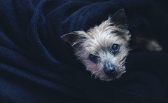 (Irina*****) Tags: perro mascota dog doggy olddog olddoggy yorkshire yorshireterrier terrier photography photo irinamaciasphoto portrait retrato dogportrait mydog 50mm love