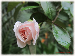 Here I am (Abraham Jacob N) Tags: rose beautifulflower flower nature kottayam kerala india canon canonpowershotsx130