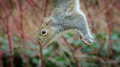 Hanging loose (hickamorehackamore) Tags: 2017 ct connecticut easterngraysquirrel haddam nwf backyard certified feeder habitat squirrel suet suetfeeder wildlife winter