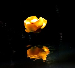Sun! Sun! - Indian pond lily (Nuphar polysepala), near Portland, Oregon, June 2016 (Judith B. Gandy) Tags: lilies nuphar flowers wildflowers oregon portland balchcreek indianpondlilies nupharpolysepala orangeflowers willametteriver yellowwildflowers
