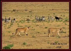 YOUNG SUB-ADULTS KING OF THE JUNGLE (Panthera leo)....MASAI MARA......SEPT,2016 (M Z Malik) Tags: nikon d3x 200400mm14afs kenya africa safari wildlife masaimara keekoroklodge exoticafricanwildlife exoticafricancats flickrbigcats lions leo ngc