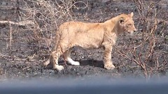 lion attacks hunter in africa | lion attack bufallo | lion attack (newsvideoswatch) Tags: lion attacks hunter africa | attack bufallo