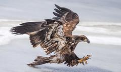 IMG_6040 Bald Eagle (Wallace River) Tags: aboiteau baldeagle bito icefishing wallacebay