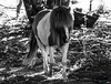 Veganus (gatetegris) Tags: horse poney nature animal natureza naturaleza galicia galiza coruña paderne acoruña lacoruña galope trot trote caballito bn byn blancoynegro blackandwhite blackwhite bw bnw brancoenegro brancoepreto monocromo