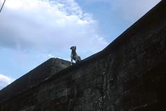 (nun-ki) Tags: portugal açores rabodepeixe cão dálmata parede