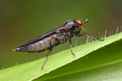 Fly (Rundstedt B. Rovillos) Tags: fly diptera insect insecta insekto insekten insecte insekt nikond300 nikkor1855mm nikonsb400 reverselensadapter diyflashdiffuser diykfcflashdiffuser kfcdiffuser kfcflashdiffuser kentuckyfriedchickenplasticbucketlid reverselens reverselensmacroshoot macro macrophotography onehandmacroshootmethod straightoutofcamera sooc rundstedtbrovillos