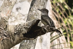 Cuba: La Sagra's Flycatcher Investigating Hollow Trunk (donna lynn) Tags: 2017 march cuba birds birding nature wildlife caribbean wingsbirdingtours nkon d500 endemics flycatchers lasagrasflycatcher myiarchussagrae