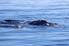 Ballena Franca Austral 2 (pniselba) Tags: ballena ballenafrancaaustral puertopiramides peninsula valdes peninsulavaldes puerto madryn puertomadryn chubut argentina eubalaenaaustralis southernrightwhale whale