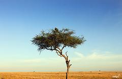 Tree and Vulture (oonat) Tags: tree vulture maasaimara safari wildlife kenya africa