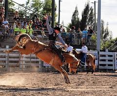 P3110228 (David W. Burrows) Tags: cowboys cowgirls horses cattle bullriding saddlebronc cowboy boots ranch florida ranching children girls boys hats clown bullfighters bullfighting