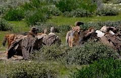 Scavengers take control of a recent kill. (One more shot Rog) Tags: namibia kill carcass eats scaveners scavenger jackal blackbackedjackal vulture vultures birds safari africa etosha nature wildlife