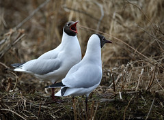 Stop yelling at me! (Snorre t.) Tags: croicocephalusridibundus hettemåke blackheadedgull fugler østensjøvannet 2017