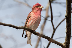Purple Finch (male) (Jeremy Meyer) Tags: purplefinch purple finch bird lakepark