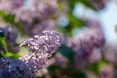 Lilas de flores simples (Jesús Emilio Monje) Tags: flores flowers jardín macro bokeh lila rosa pink