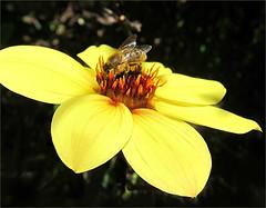 Sunshine Monday (Mary Faith.) Tags: bee dahlia macro insect nature