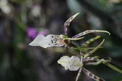Brassia 'Toscana'