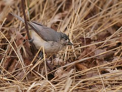 Tufted Titmouse Working The West Meadow (Bill Bunn) Tags: tuftedtitmouse falmouth maine