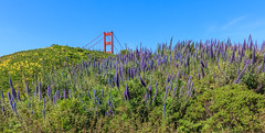 Wildflowers (robertbp94) Tags: california spring goldengatenationalrecreationarea bayarea goldengatebridge sanfrancisco wildflowers