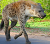 Spotted Hyaena (Crocuta crocuta) (berniedup) Tags: lowersabie kruger spottedhyaena crocutacrocuta hyaena taxonomy:binomial=crocutacrocuta