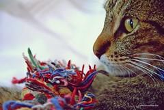 Loly de perfil (Aprehendiz-Ana Lía) Tags: fotografía flickr gata gato gatti gatto chats argentina analialarroudé ojos mirada color cute juegos portrait retrato luz ojo tricolor nikon macro felino bigotes cats suave yahoo esfinge digital cat