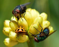 Plenty for everyone! :) (all one thing (catching up slowly...)) Tags: plentyforeveryone whitepowderpuffbuds flies ladybug beautifulbugbuttthursday hbbbt