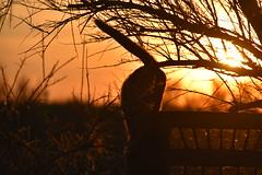 escapade nocturne (Jean-marc17340) Tags: chat cat couleurs colors couchédesoleil sunset nature art