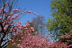 bloeiende japanse kerselaars in Leuven (Kristel Van Loock) Tags: leuven oudebaan oudebaanleuven louvain lovanio lovaina löwen seemyleuven visitleuven atleuven loveleuven leveninleuven drieduizend lente printemps primavera spring spring2017 lente2017 april2017 springflowers springtime springisintheair springishere blossom blossoms bloesem pinkblossom roze sakura japansekerselaars blooming bloeiend japanesecherrytrees japanesecherryblossoms cherryblossom cherryblossoms trees vlaanderen vlaamsbrabant visitflanders visitflemishbrabant flemishbrabant flanders fiandre flandre visitvlaamsbrabant visitvlaanderen visitbelgium belgium belgique belgien belgica belgië belgio bloomingjapanesecherryblossoms