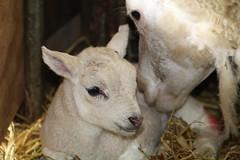Oh My Baby (excellentzebu1050) Tags: lamb lambbirth newlife newborn animalportraits closeup birth farm indoors animals coth5