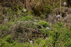 OC_042317z11 (Eric C. Reuter) Tags: oceancity nightherons yellowcrownednightherons nj april 2017 042317 rookery bridge visitorcenter