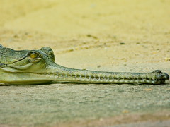False Gharial 2 (dennisgg2002) Tags: bronx zoo new york city ny nyc