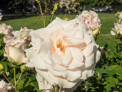 White rose (melastmohican) Tags: rose sunny natural color white season nature floral beautiful day beauty shrub outdoor orange gardening garden bush plant colorful fresh flora petal rosebush love botanical outdoors blossom nobody bloom flower field