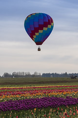 High Above the Tulips (Wambo Jambo) Tags: bruceikenberrryphotography oregon spring woodenshoetulipfarm woodenshoetulipfest flowers tulipfest tulips hotairballoons balloon hotairballoon balloons