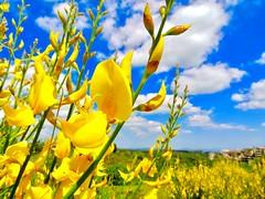 Aria di primavera (ioriogiovanni10) Tags: piante fiori profumo canon primavera nuvole azzurro cielo yellow natura sky giallo