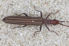 fancy pin stripe longicorn (zosterops) Tags: australia tasmania whitebeach canoneos6d canonmacrolensmpe65 macro insecta coleoptera cerambycidae syllitusgrammicus