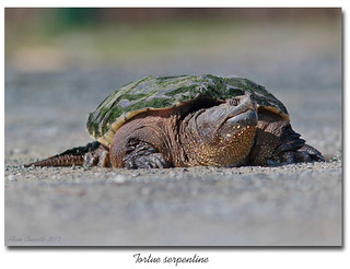 Tortue serpentine / Common snapping turtle 153A8241