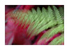 The Wind Blew (paulinecurrey) Tags: macromondays intentionalblur blur hmm blurriness hazy soft fern acer longexposure thewind nature natural outdoors garden naturallight macro 3x2 motion contrast red green colourduel colourduet colourful fantasticnature