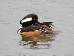 Hooded Merganser (Two Cats Productions) Tags: