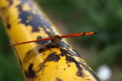 Borboleta bairro São João JM - Wir Caetano - 26 04 2017 (21) (dabliê texto imagem - Comunicação Visual e Jorn) Tags: borboleta inseto amarelo escada ferrugem