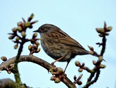 sparrow (menchuela) Tags: birds aves sparrow gorrion menchuela