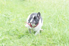 SONY DSC (Anastasia Neto) Tags: cutepuppies dog dogs dogphotography dogmodel cutepuppy dogphotographer petmodel puppies petphotography pets puppy pet petphotographer frenchie frenchies frenchbulldog frenchbulldogs funnydog funnydogs