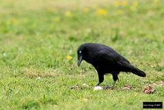 Forest Raven (Corvus tasmanicus tasmanicus) (Dave 2x) Tags: corvustasmanicustasmanicus corvustasmanicus corvus tasmanicus forestraven forest raven tasmanianarboretum arboretum tasmania australia leastconcern tasmanianraven corvid