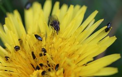 Pollen party...HFDF ! (Kez West) Tags: hfdf pollenbeetles fly diptera twofer pollinating dandelion insects nature spring